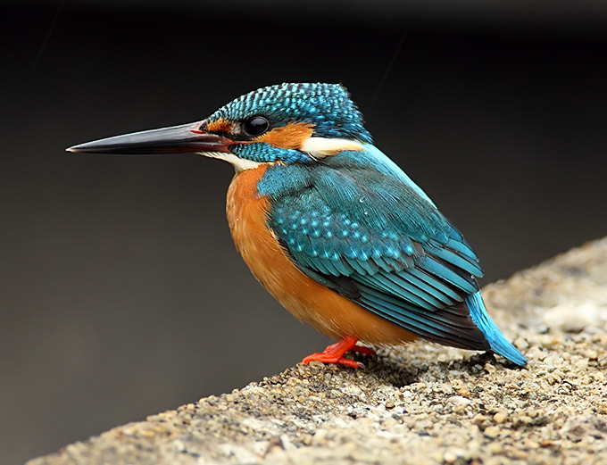 kingfisher_rn